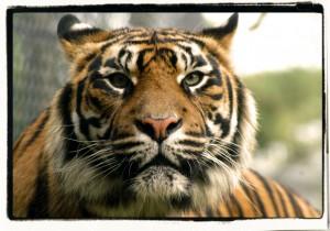 Syberische tijger