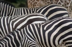 Zebra's en giraf